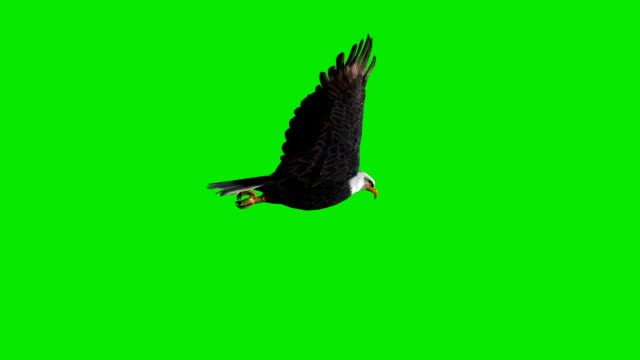 di volo eagle con schermo verde (ad anello - uccello video stock e b–roll