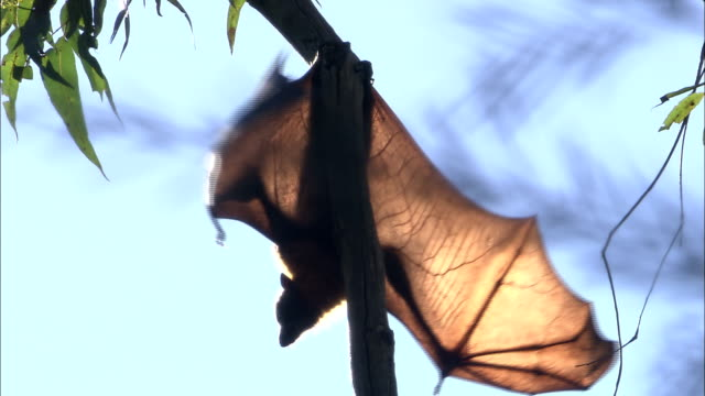 a flying fox extends its wings while hanging upside down. - tierflügel stock-videos und b-roll-filmmaterial