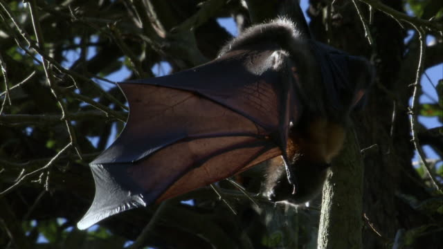 cu flying fox hanging from branch with spread wings / sydney , australia   - spread wings stock videos & royalty-free footage