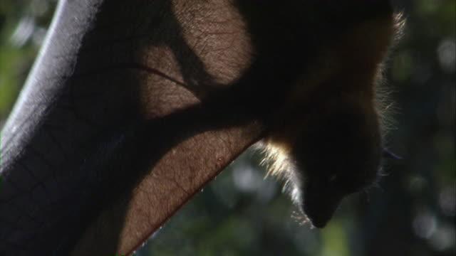 CU Flying fox hanging upside down from branch / Sydney , Australia