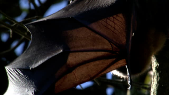a flying fox hangs upside down with its wing extended. - tierflügel stock-videos und b-roll-filmmaterial