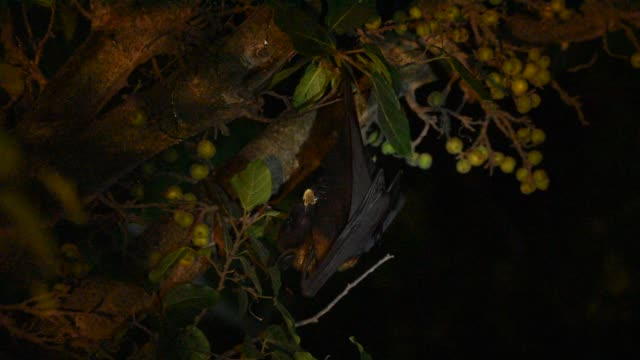 flying fox or fruit bats hanging and eating tree fruit in forest at night. - spooky stock videos & royalty-free footage