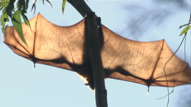 ms flying fox with wingspan hanging upside down from tree branch / sydney , australia     - animal wing stock videos & royalty-free footage