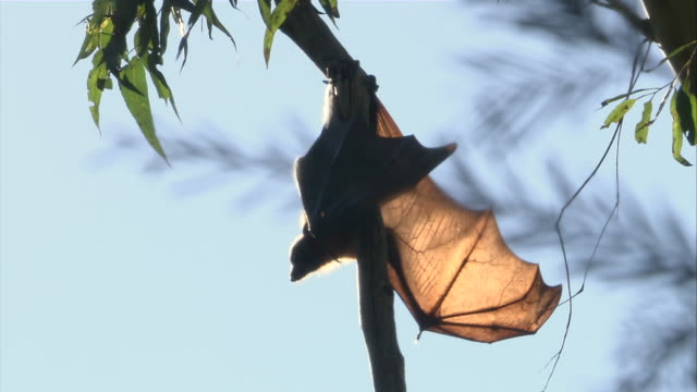 MS Flying fox with wingspan hanging upside down from tree branch / Sydney , Australia