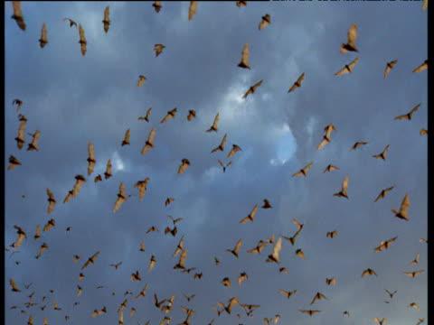 Flying Foxes fly overhead, Australia
