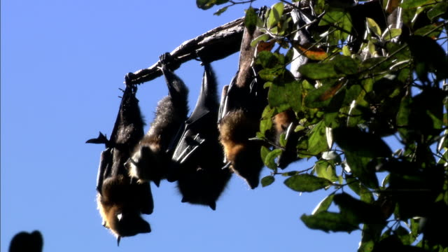 flying foxes hang upside down from leafy branches. - upside down stock videos & royalty-free footage