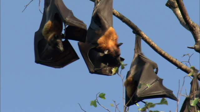 stockvideo's en b-roll-footage met cu la flying foxes in tree, cambodia - hangen