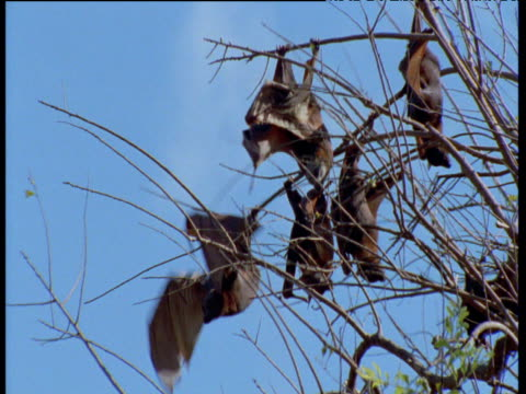 Flying Foxes take off from branches, Australia