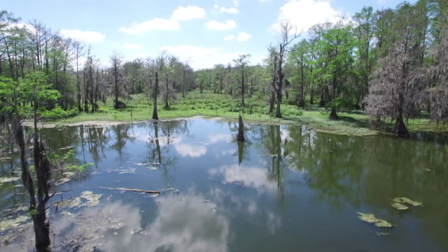 flying from swamp to land - drone aerial 4k everglades, swamp bayou with wildlife alligator nesting ibis, anhinga, cormorant, snowy egret, spoonbill, blue heron, eagle, hawk, cypress tree 4k nature/wildlife/weather drone aerial video - bayou lafourche stock-videos und b-roll-filmmaterial
