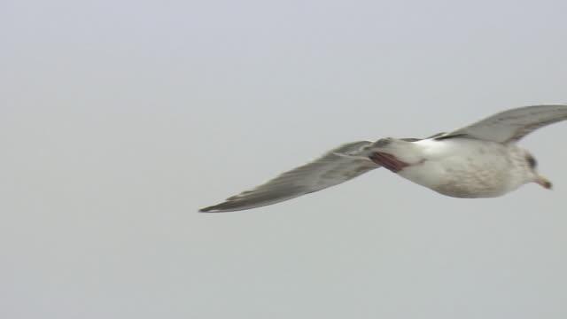Flying Gulls, Hokkaido, Japan