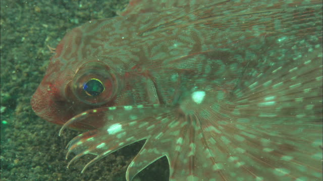 Flying gurnard, eye and modified fin, close up. Indonesia