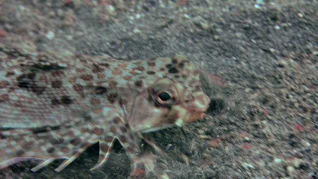 Flying gurnard (Dactylopterus volitans) on a sandy seabed. Filmed in the Lembeh Strait, Sulawesi, Indonesia