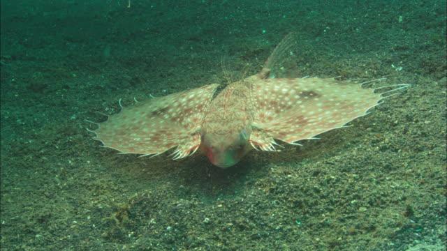 Flying gurnard, slow along sea bed bottom, turns, Indonesia