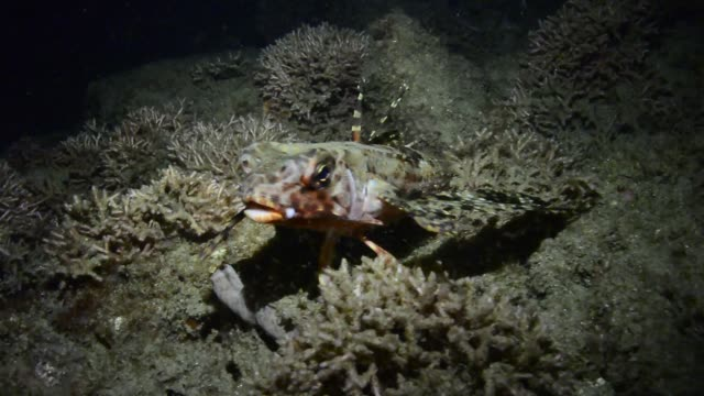 stockvideo's en b-roll-footage met flying gurnard. - duurzaam toerisme