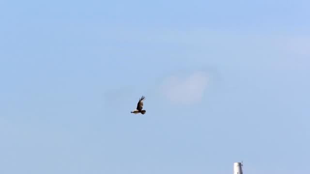 vídeos y material grabado en eventos de stock de flying hawk - halcón