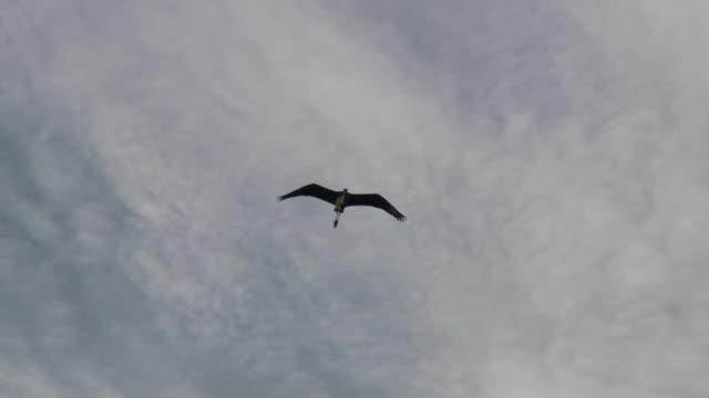 flying heron 2 - hd 1080/60i - heron stock videos & royalty-free footage