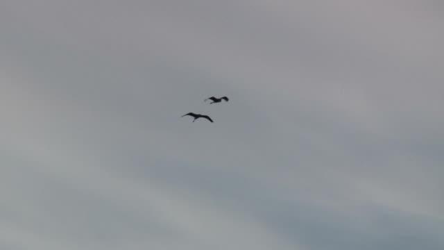 stockvideo's en b-roll-footage met flying herons - hd 1080/60i - reiger