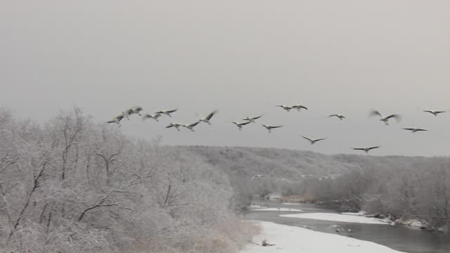 flying japanese cranes, hokkaido, japan - ツル点の映像素材/bロール