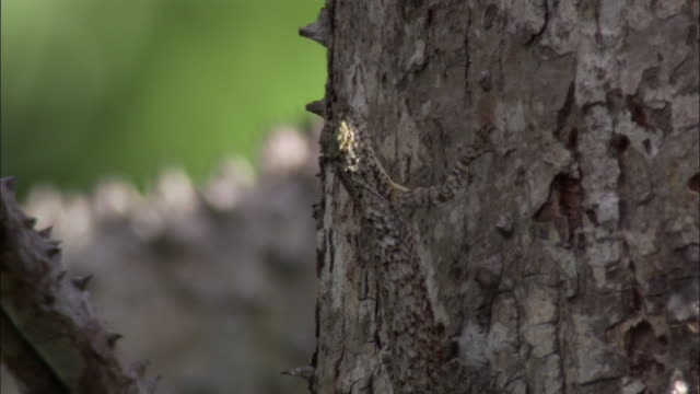 flying lizard diplays dewlap on tree trunk, sumatra - lizard stock videos & royalty-free footage
