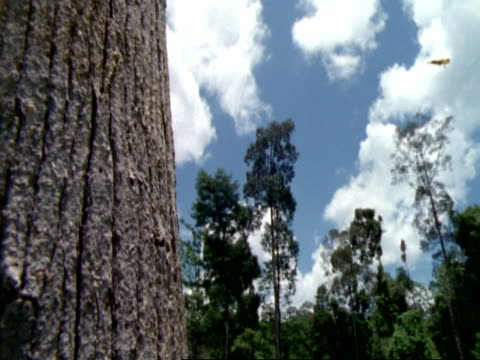 mcu flying lizard gliding from top right of frame down onto tree trunk, through blue sky, malaysia - malaysia stock videos & royalty-free footage