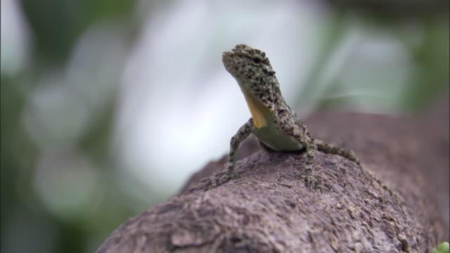 flying lizard in forest, sumatra - lizard stock videos & royalty-free footage