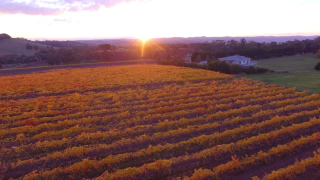 flying low over a grape vineyard in the victorian yarra valley during autumn. - david ewing stock videos & royalty-free footage