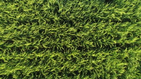 stockvideo's en b-roll-footage met vliegen over een groen gazon - sea grass plant