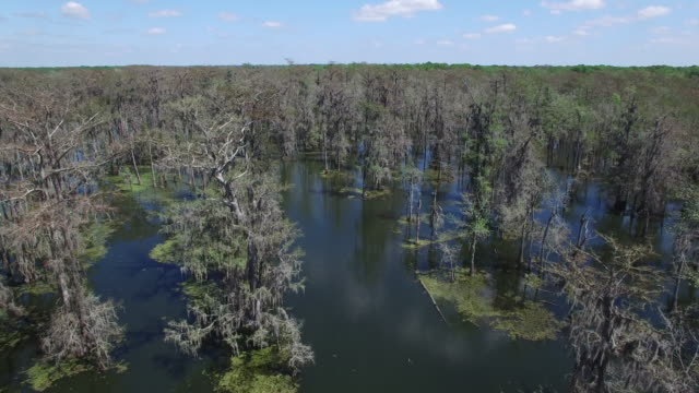 Flying over cypress trees fast and close - Drone Aerial 4K Everglades, Swamp bayou with wildlife alligator nesting Ibis, Anhinga, Cormorant, Snowy Egret, Spoonbill, Blue Heron, eagle, hawk, cypress tree 4K Nature/Wildlife/Weather