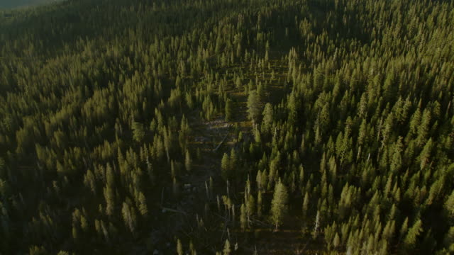 Flying over evergreen forest towards Mount Lassen.