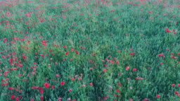 Flying Over Field With Poppy Flowers Aerial Dron Shoot.