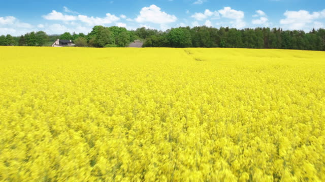 flying over fields of rapeseed - denmark stock videos & royalty-free footage