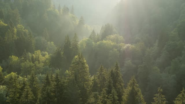flying over forest at sunrise - zona arborea video stock e b–roll