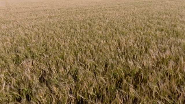 Flygande över korn fält
