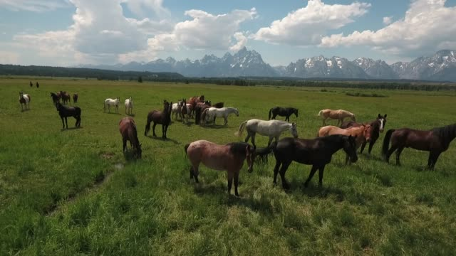 flying over horses low tracking left to right with horses drone aerial 4k, alpine, american west, grand tetons national park, jackson hole, mountains, nature, outdoors, rocky mountains, scenic, teton range, tetons, wilderness, wildlife, wyoming.mov - wyoming ranch stock videos & royalty-free footage