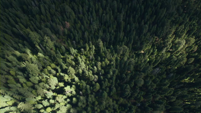 vídeos de stock e filmes b-roll de flying over nelder grove, a grove of giant sequoias in the sierra national forest, california. - coniferous