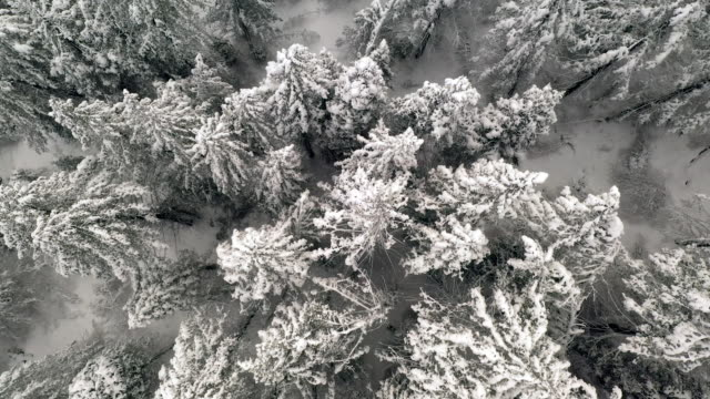 Flying over pine trees in white covered in snow down below