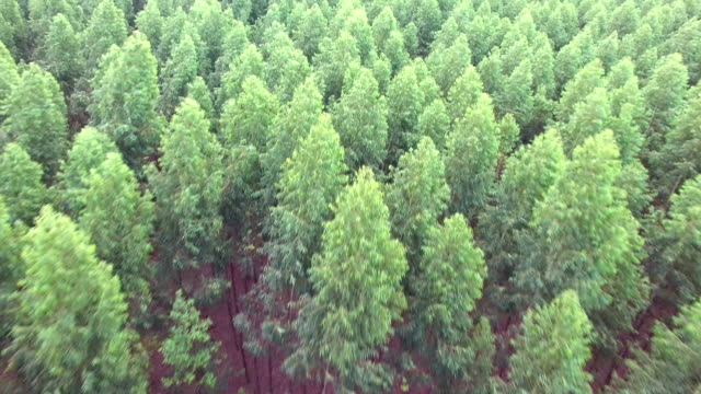 flying over pine trees - plantation stock videos & royalty-free footage