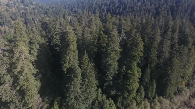 Flying over river to pan down MULTIPLE Redwood Forest, Aerial, 4K, 38s, 35of50, Forest Trees, Northern California Tallest trees in the world, Sun flare, Hyperion Tree, world record, Stock Video Sale - Drone 4K Nature/Wildlife/Weather Drone aerial video