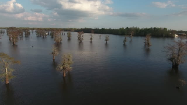 flying over sparce cypress trees in swamp - drone aerial 4k everglades, swamp bayou with wildlife alligator nesting ibis, anhinga, cormorant, snowy egret, spoonbill, blue heron, eagle, hawk, cypress tree - drone aerial view - bayou lafourche stock-videos und b-roll-filmmaterial