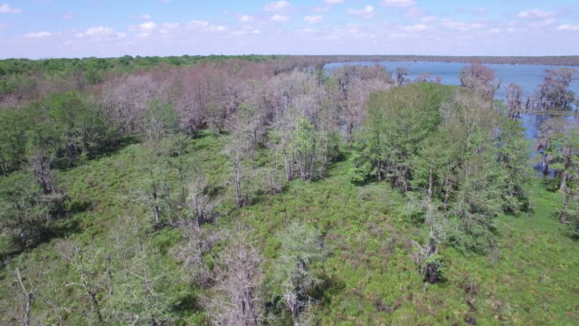 flying over swamp quick - drone aerial 4k everglades, swamp bayou with wildlife alligator nesting ibis, anhinga, cormorant, snowy egret, spoonbill, blue heron, eagle, hawk, cypress tree 4k nature/wildlife/weather drone aerial video - bayou lafourche stock-videos und b-roll-filmmaterial