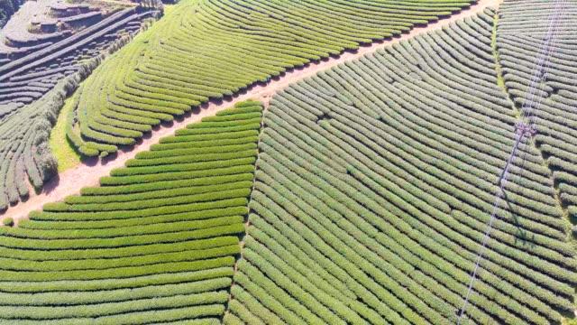 Flygande över te odlingar på kulle, Chiangmai provinsen, Thailand. Aerial video