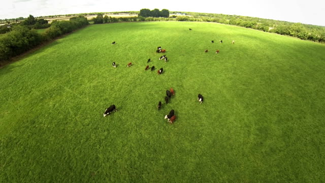 flying over the cows - domestic cattle stock videos & royalty-free footage