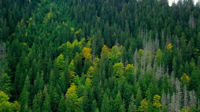 Flying over thick old coniferous forest. Aerial shooting of landscape