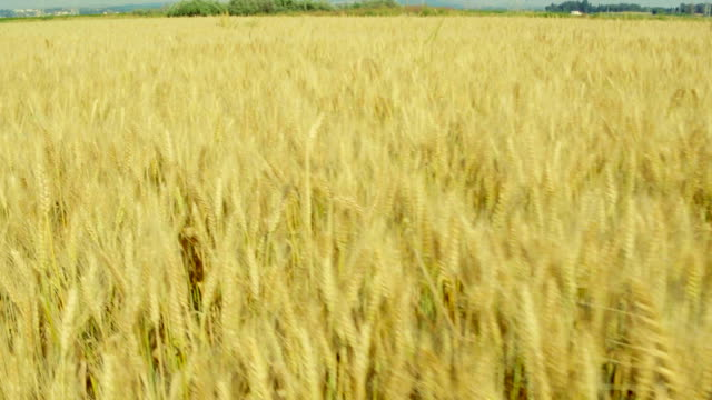 Flying over wheat field