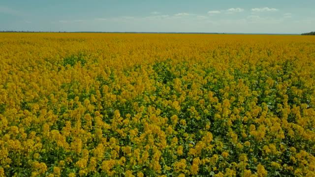 風が撫でて熟した菜種の黄色のフィールドの上飛んでいます。航空写真ビュー