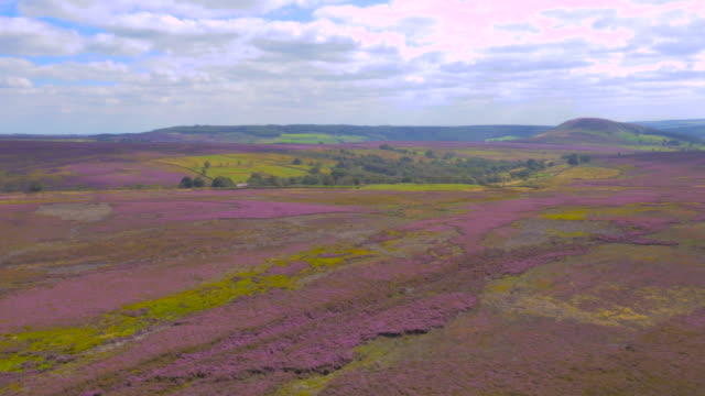 flying over yorkshire moors in heather bloom filmed by drone - heather hunter stock videos & royalty-free footage