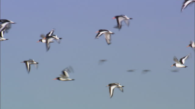 "stockvideo's en b-roll-footage met flying oystercatchers (haematopus ostralegus), norfolk, uk - ""bbc natural history"""