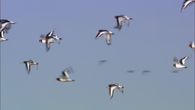"flying oystercatchers (haematopus ostralegus), norfolk, uk - ""bbc natural history"" stock videos & royalty-free footage"