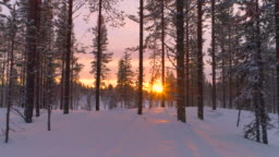 AERIAL CLOSE UP: Flying past snowy pine trees in winter forest at golden sunset