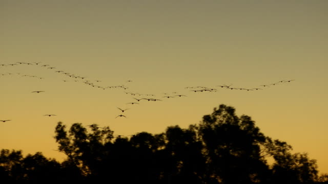 flying pelicans - birds flying in v formation stock videos and b-roll footage